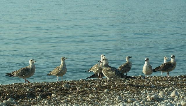 seagulls-340730_640