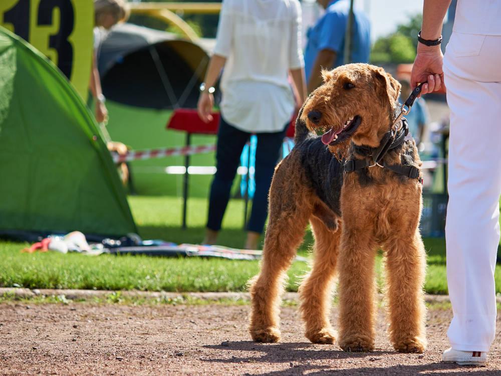 Los atractivos de las exposiciones caninas